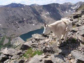 Mountain Goat on Mt. Massive